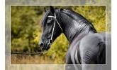 Sedla za frizijske konje<span> (1)</span>