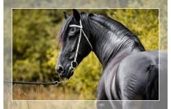Sedla za frizijske konje (1)